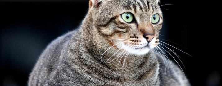 Gatos con sobrepeso: Causas, consecuencias y pautas para evitarlo