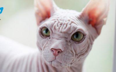 Las 4 enfermedades de la piel más comunes en gatos: síntomas y prevención